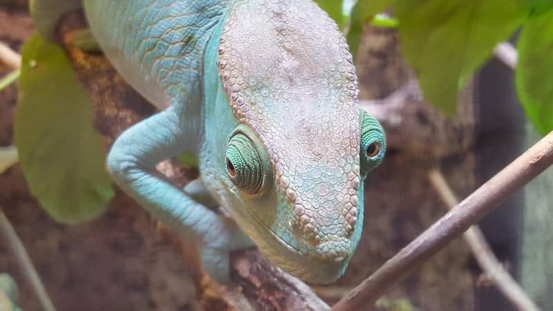 Chameleon - Zoo Kladno