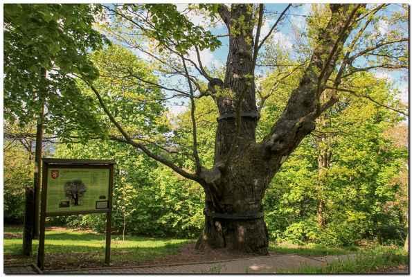 památný Svatováclavský dub