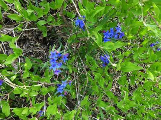 Kamejka modronachová, zdroj Iva63