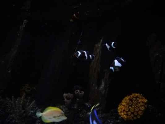 Černí klauni očkatí - z mořského světa v Portu