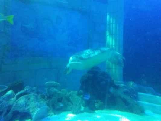 Kareta obrovská v mořském světě v Portu - Chelonia mydas
