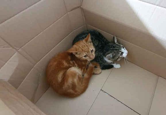 5.10.2020 - Dvě koťata byla nalezena v obci Tasov, oznamovatelka, která je našla na zahradě sem dojíždí jen na chalupu. Koťata převzal do péče obecní úřad v Tasově, my jsme se jim snažili pomocí FB najít domov, ale nepodařilo se a tak jsme dnes pro koťata do Tasova zajeli. Zrzavý kocourek dostal jméno Jack, bílomourovatá je kočička Emma.