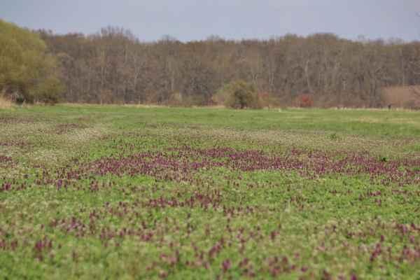 Proč mi nevadí, že nejezdím do Provence (:o)) - Protože fialové koberce máme i u nás! Jarní krása hluchavky nachové
