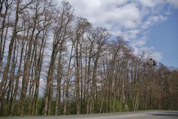 Stromořadí okolo cesty - Za ním je schovaný kemp