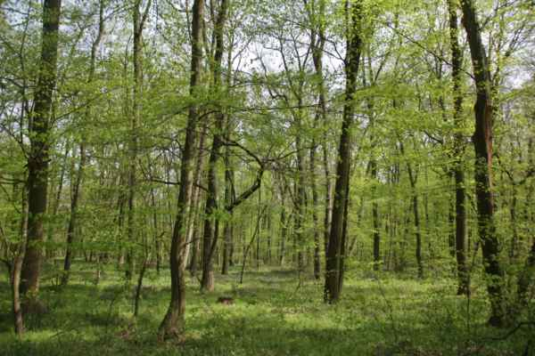 Lužní les koncem dubna - Převažují habry