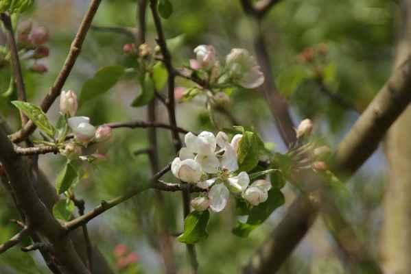 První jabloňové - Divoká jabloň
