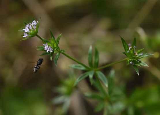 Bračka rolní (Sherardia arvensis)