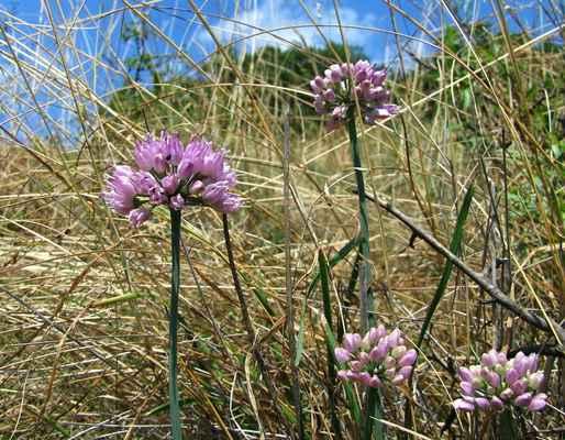 Česnek hranatý (Allium angulosum) - C3, §2