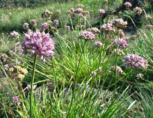 Česnek šerý horský (Allium senescens subsp. montanum) - C4a