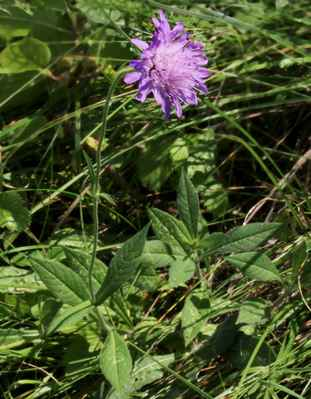 Chrastavec lesní (Knautia dipsacifolia) - C4a