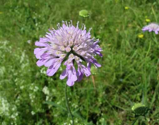 Chrastavec rolní (Knautia arvensis)