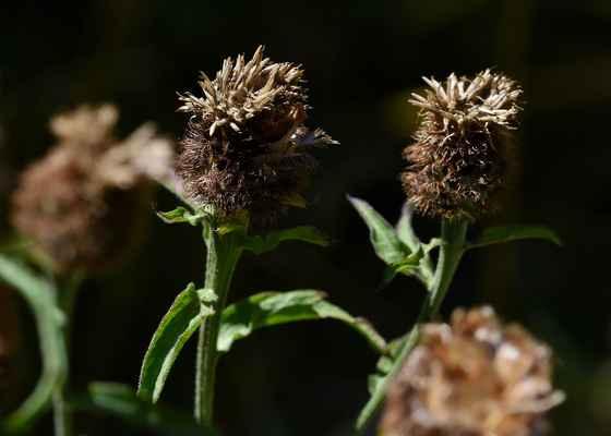 Chrpa černající (Centaurea nigrescens)