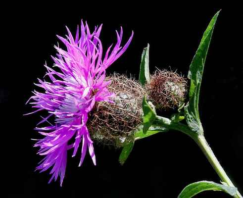 Chrpa parukářka (Centaurea pseudophrygia) - C4a