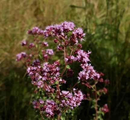 Dobromysl obecná (Origanum vulgare)