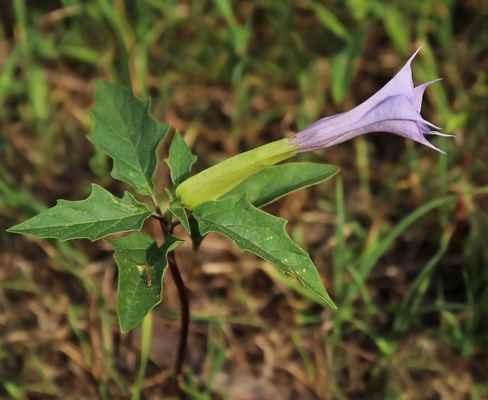 Durman obecný fialový (Datura stramonium var. tatula)