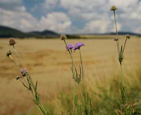 Hlaváč fialový (Scabiosa columbaria) - C3