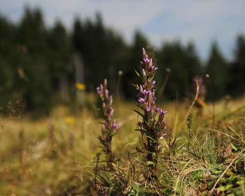 Hořeček  žlutavý karpatský (Gentianella lutescens subsp. carpatica) - C1t, §1