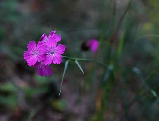 Hvozdík kartouzek širolistý (Dianthus carthusianorum subsp. latifolius) - C3