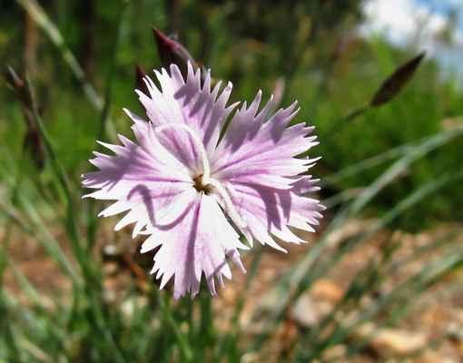 Hvozdík písečný český kříženec - H. kartouzek x H. písečný český (Dianthus x novakii)