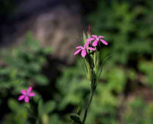 Hvozdík svazčitý (Dianthus armeria) - C4a