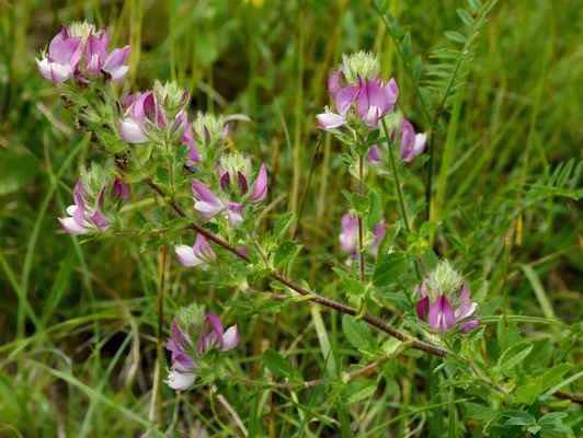 Jehlice rolní (Ononis arvensis) - C3
