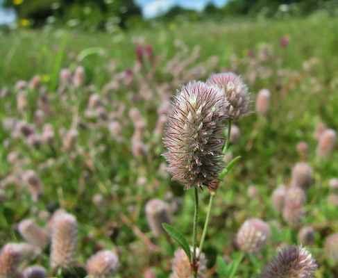 Jetel rolní (Trifolium arvense)