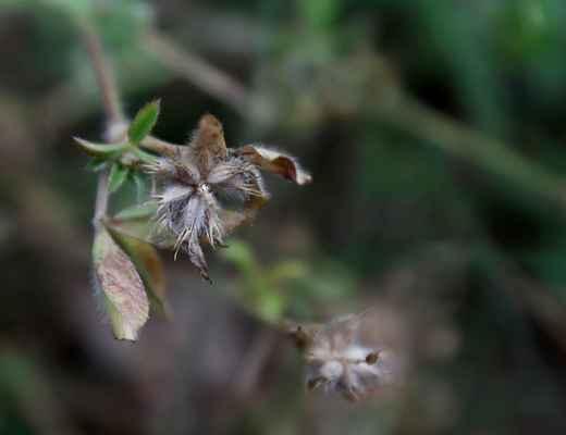 Jetel žíhaný (Trifolium striatum) - C1t