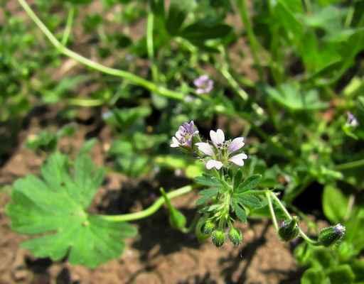 Kakost maličký (Geranium pusillum)