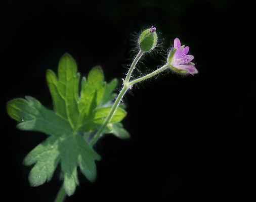 Kakost měkký (Geranium molle) - C2t