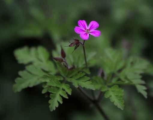 Kakost smrdutý (Geranium robertianum)
