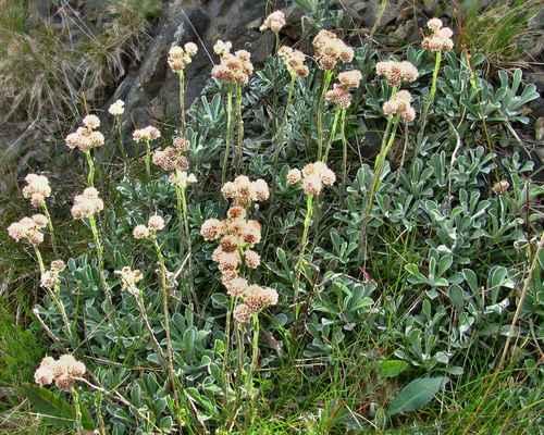 Kociánek dvoudomý (Antennaria dioica) - C2t