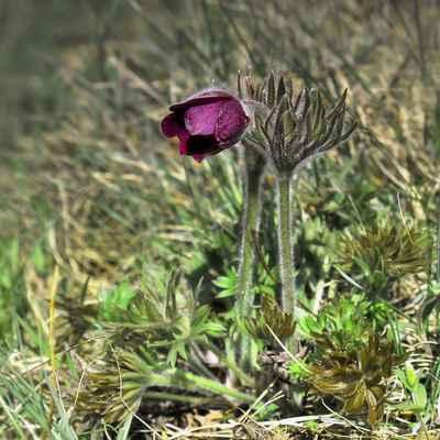Koniklec Hackelův (Pulsatilla × hackelii)