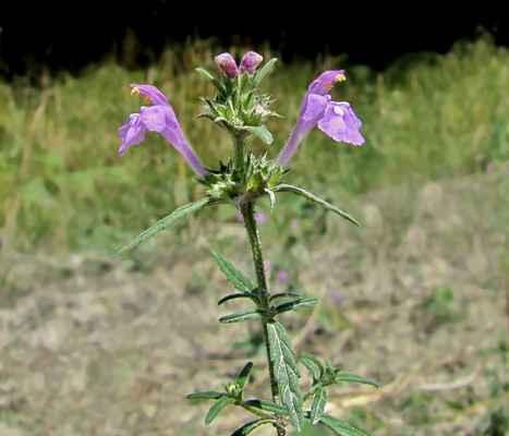 Konopice úzkolistá (Galeopsis angustifolia) - C3
