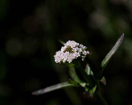 Kozlík dvoudomý  (Valeriana dioica) - C4a
