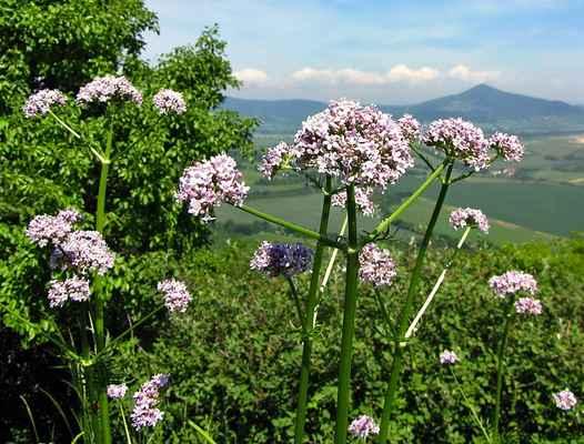 Kozlík ukrajinský chlumní (Valeriana stolonifera subsp. angustifolia) - C4a