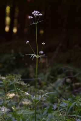 Kozlík výběžkatý chlupatý (Valeriana excelsa subsp. procurrens) - C4