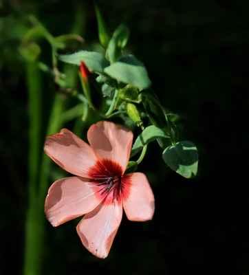 Len velkokvětý (Linum grandiflorum)