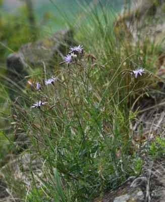 Locika vytrvalá (Lactuca perennis) - C3