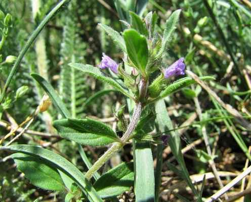 Marulka šantovitá (Clinopodium nepeta)