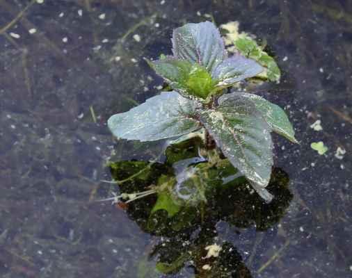 Máta vodní (Mentha aquatica)