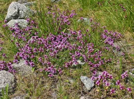 Mateřídouška alpinská (Thymus alpestris) - C2r