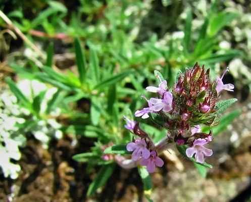 Mateřídouška panonská (Thymus pannonicus) - C4a