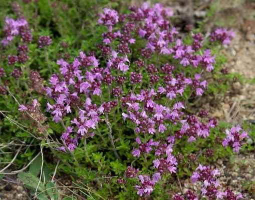Mateřídouška úzkolistá (Thymus serpyllum) - C4a