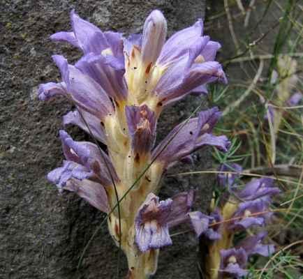 Mordovka písečná (Phelipanche arenaria) - C2b