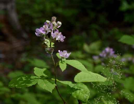 Ostružiník běloplstnatý (Rubus montanus)