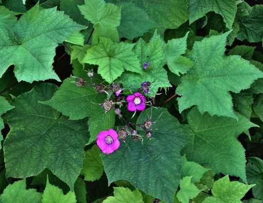 Ostružiník vonný (Rubus odorarus)