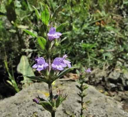 Pamětník rolní (Acinos arvensis)