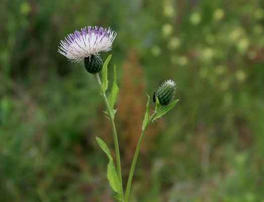 Pcháč tatarský, hybrid mezi zelinným a šedým (Cirsium × Tataricum)