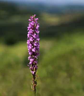 Pětiprstka hustokvětá (Gymnadenia densiflora) - C1b, §1