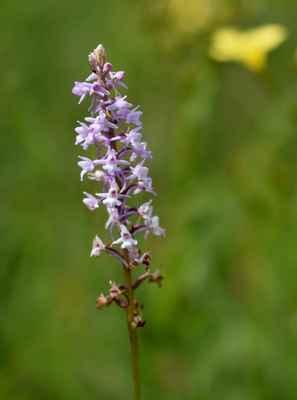 Pětiprstka žežulník horská (Gymnadenia conopsea subsp. montana) - C2t, §3 (patrně jde jen o varietu)